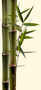 Bambou (Tabashir)