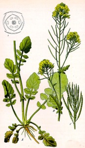 Barbarée vulgaire (Barbarea vulgaris)