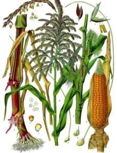 Barbe de maïs (Zea mays)
