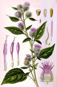 Bardane (Grande) (Arctium lappa L.)