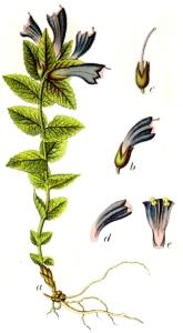 Bartsie des Alpes - (Bartsia alpina)