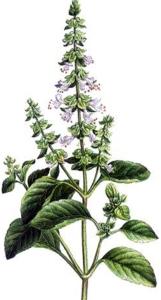 Basilic (Ocimum basilicum L.)
