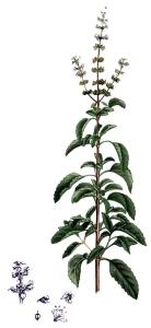 Basilic sacré (Ocimum sanctum)