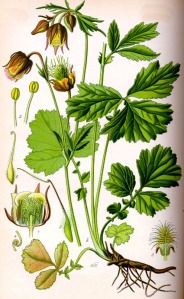 Benoîte des ruisseaux (Geum rivale L.)