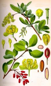 Berbéris (Berberis vulgaris L.)