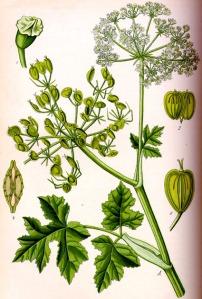 Berce (Heracleum sphondylium)