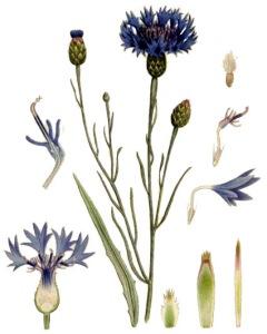 Bleuet (Centaurea cyanus L.)
