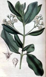 Bois d'Inde (Pimenta racemosa M.)