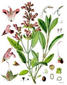 Bois de rose (Aniba rosaedora)