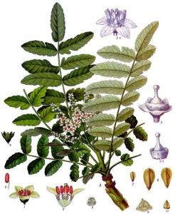 Boswellia (Olibanum Indicum)