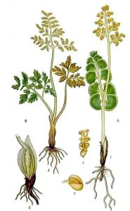 Botryche à feuilles de matricaire - (Botrychium matricariifolium)