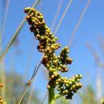 Botryche à feuilles de matricaire