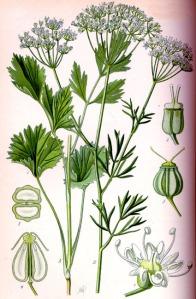 Boucage (Pimpinella)