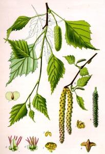 Bouleau (Betula alba L.)