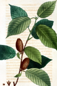 Bouleau jaune (Betula alleghaniensis)