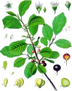 Bourdaine (Frangula alnus Miller.)
