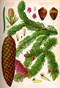 Bourgeons de sapin (Picea abies)