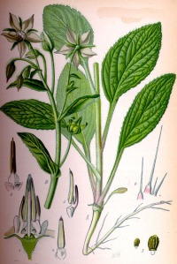 Bourrache (Borago officinalis L.)