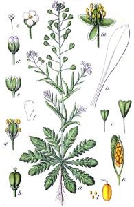 Bourse à pasteur (Capsella bursa pastoris)