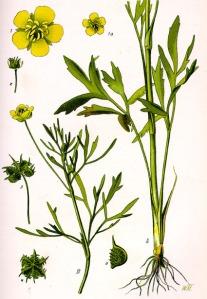 Bouton d'or (Ranunculus acris L.)