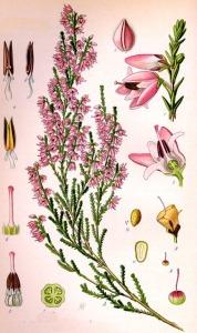 Bruyère (Calluna vulgaris (L.) Hull.)