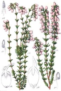 Bruyère cendrée (Erica cinerea L.)
