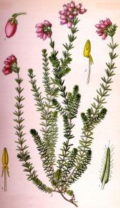 Bruyère des marais (Erica tetralix L.)