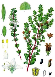 Buchu (Agasthosma betulina)