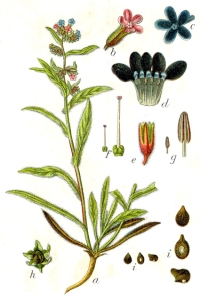 Buglosse (Anchusa officinalis)