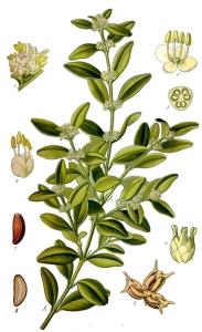 Buis (Buxus sempervirens)