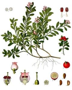 Busserole (Arctostaphylos uva-ursi L)