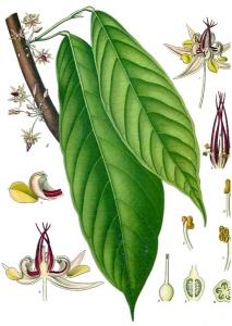 Cacao (Theobroma)