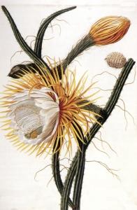 Cactus (cereus grandiflorus)