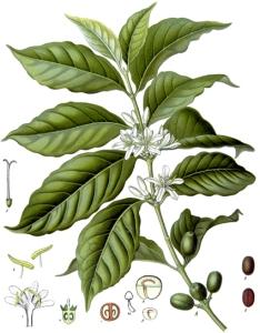 Café vert - (Coffea arabica)