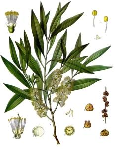 Cajeput (Melaleuca cajeputii)