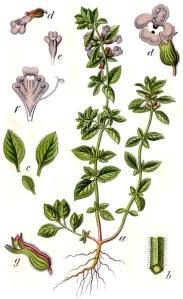 Calament acinos (Calmamintha acinos)