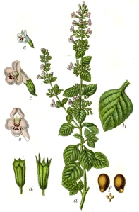 Calament (Calamintha officinalis)