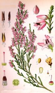 Callune fausse Buyère (Calluna vulgaris L.)