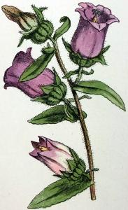 Campanula medium-2