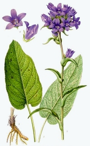Campanule agglomérée (Campanula glomerata L.)