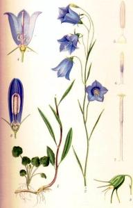 Campanule à feuilles rondes (Campanula rotundifolia L.)