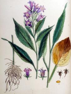 Campanule à larges feuilles - (Campanula latifolia)