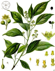 Camphrier (Cinnamomum camphora)