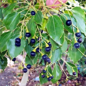 Camphrier (Cinnamomum camphora) Kampferbaum | Phytotheque Herbier ...