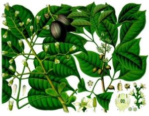 Canarium (Canarium luzonicum)