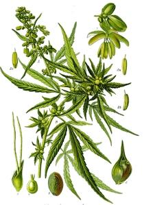 Cannabis (Cannabis L.)