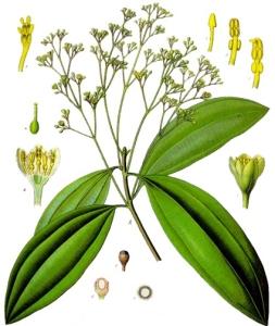 Cannelier de Chine (Cinnamomum aromaticum)
