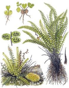 Capillaire (Asplenium trichomanes)