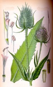 Cardère sauvage (Dipsacus sylvestris)
