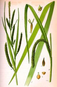 Carex à épis pendants (Carex pendula)